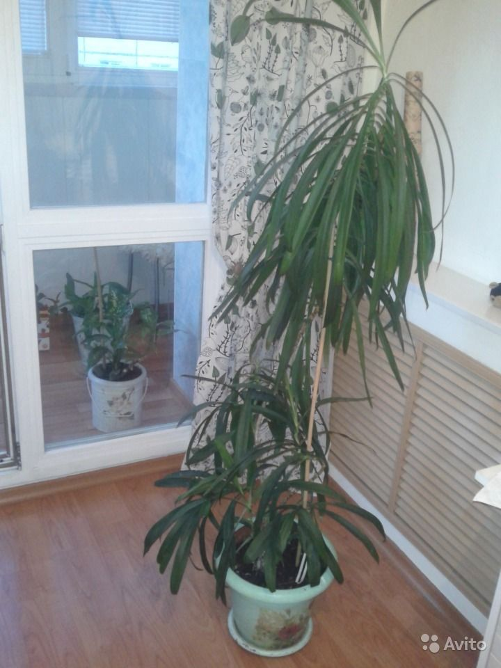 Кордилина пальма зеленая. Кемеровская область,  Кемерово