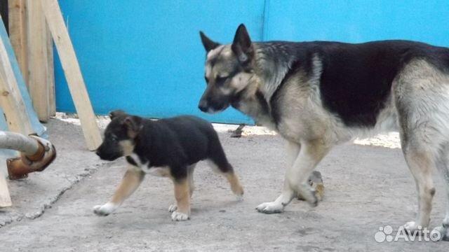 Продаются щенки восточноевропейской овчарки мальчики и девочки черного и чепрачного окрасов от папы чемпиона