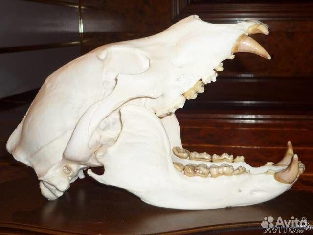 Череп медведя купить в Санкт-Петербурге на Avito - Объявления на сайте Avito