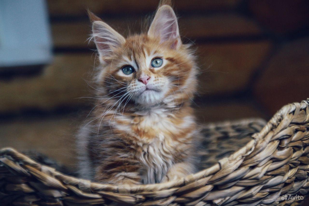 Мейн-кун котенок обаяшка в Москве - фотография № 6