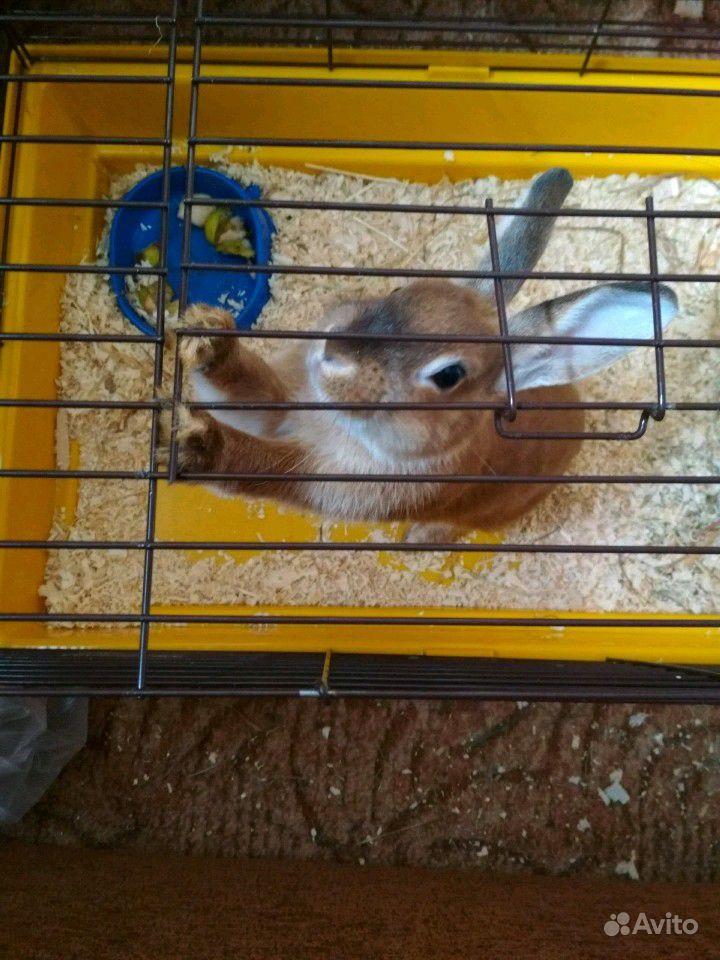 Кролик декоративный, самец