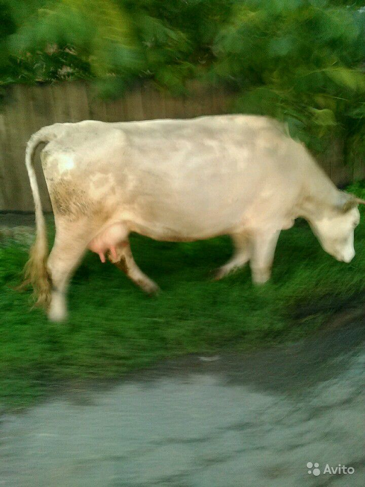 Корова с доставкой