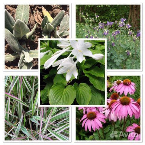 Многолетние растения и цветы купить на Зозу.ру - фотография № 1