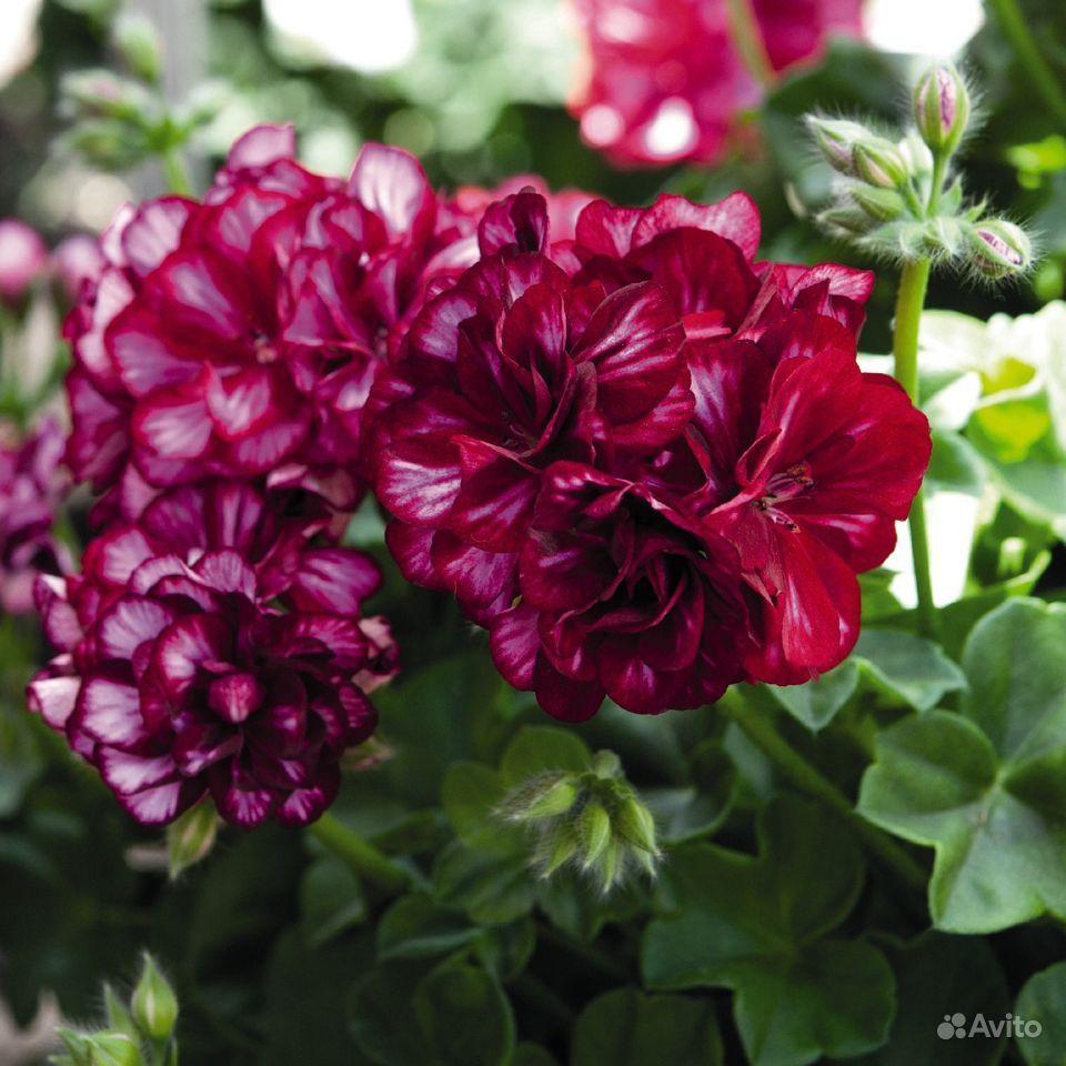 Цветы. Герань плющелистная, ампельная купить на Зозу.ру - фотография № 1