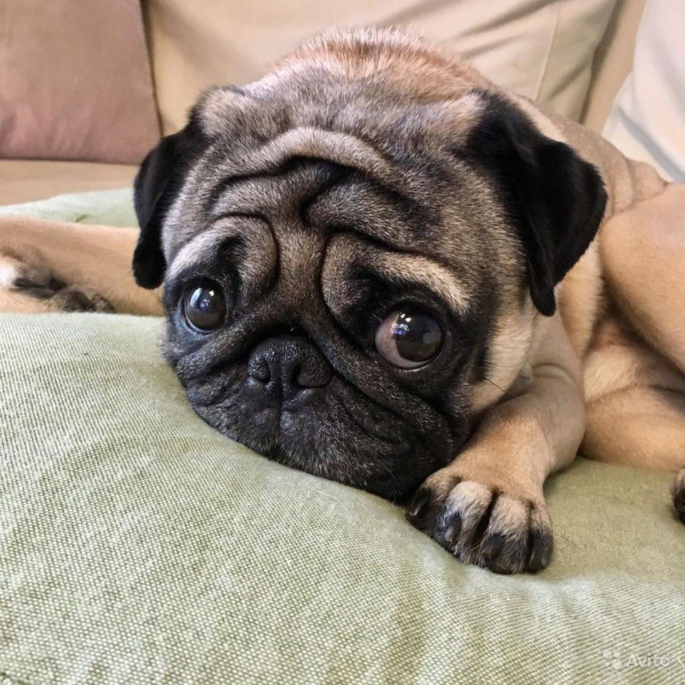 У нас вы можете купить щенка мопса с родословной недорого из питомников в Москве, Санкт-Петербурге, Новосибирске, Екатеринбурге, Новгороде, Казани и других городов.