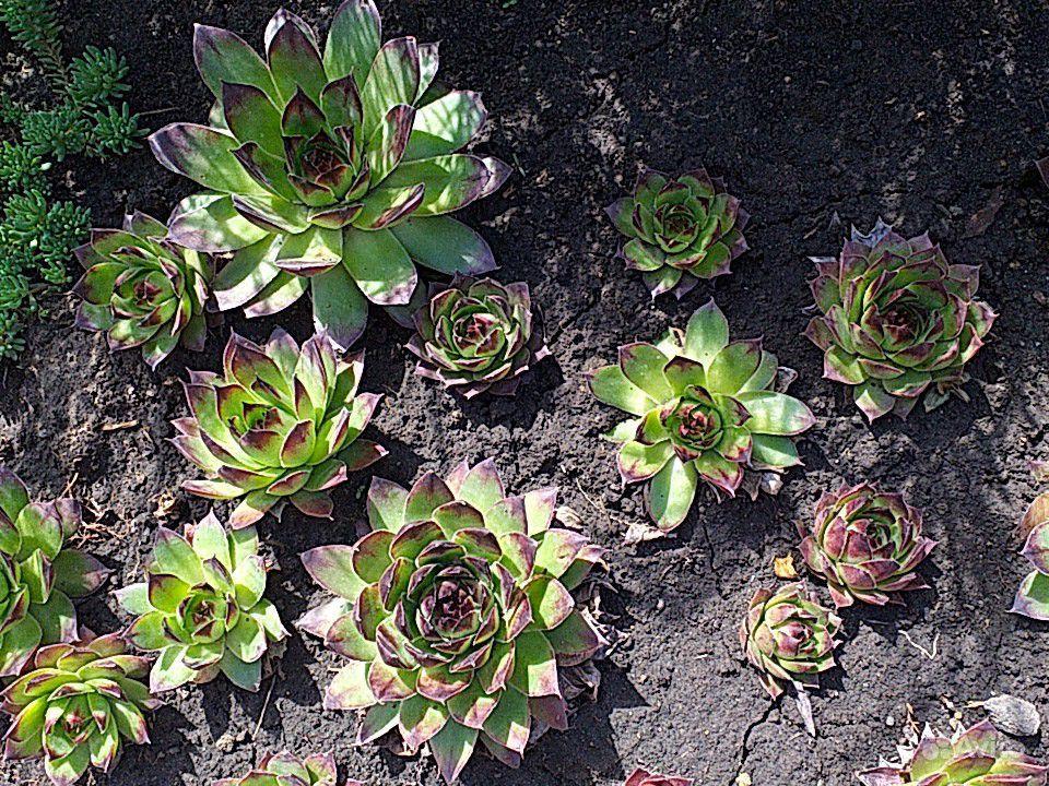 Почвопокровные растения купить на Зозу.ру - фотография № 7
