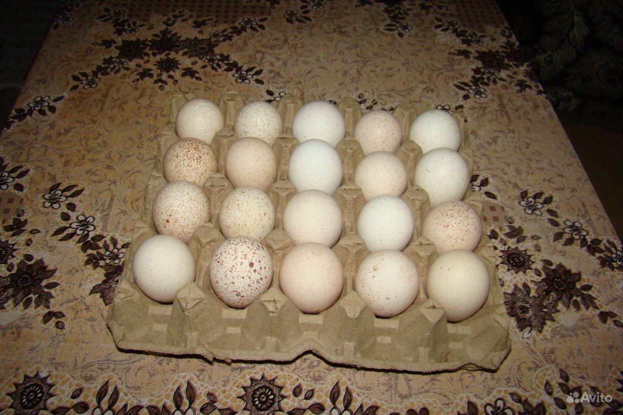 нас можно инкубация индюшиных яиц фото катеров различных проектов
