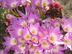 Осенний крокус(безвременник, колхикум)