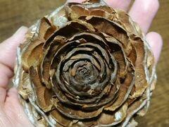 Шишки гималайского кедра, шишки сосновые