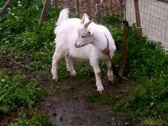 Продам стадо козлят