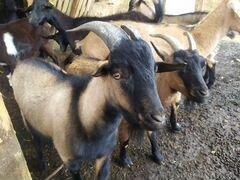 Камерунский карликовый козел