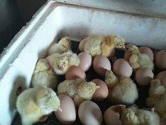 Цыплята бройлера Росс 308, суточные