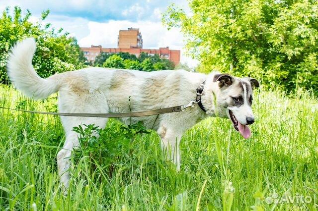 Ника - красивая молодая собака в добрые руки купить на Зозу.ру - фотография № 5