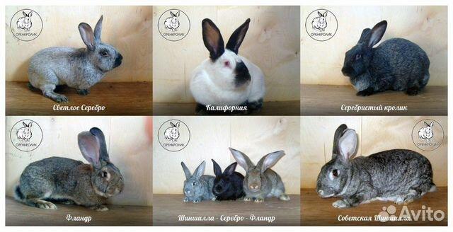 Продажа кроликов  89096026685 купить 1