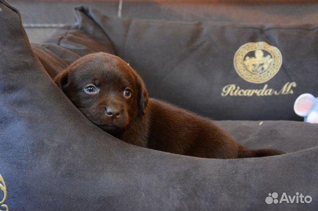 Плюшевые шоколадки, щенки Лабрадора купить на Зозу.ру - фотография № 3