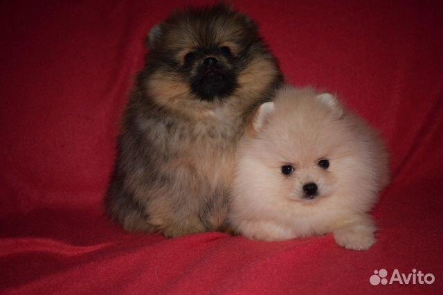 Очень красивые щенки померанского шпица купить на Зозу.ру - фотография № 9