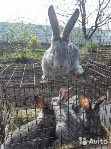 Кролики 89202417955 купить 7