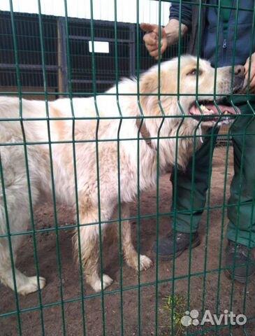 Горшая пиренейская собака в добрые руки, близкий м купить 7