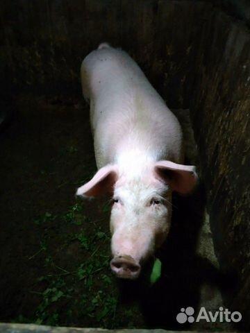 Сельхоз животные 89101862567 купить 4