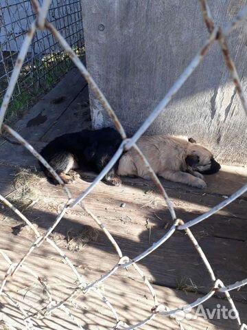 Собака  89608426506 купить 4