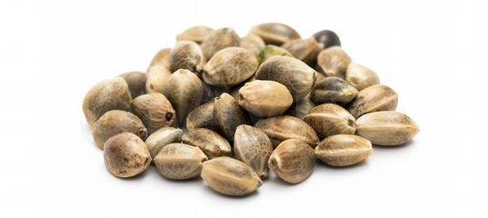 Конопляные семена для посадки семена канабиса в европе