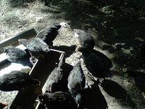 Цыплята яичной породы Минорка испанская черная