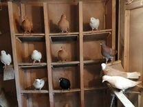 Пермские голуби — Птицы в Москве