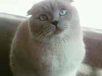 Вязка шотландского вислоухого котика