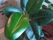 Фикус — Растения в Саратове
