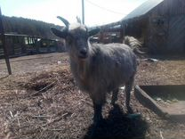 Продаем козла и козочку