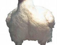 Цыплята бройлеры Ross308 и Coob 500