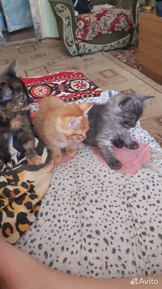 Кошки  89888508420 купить 5