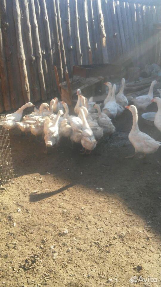 Goose  89530231933 buy 1