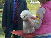 Вязка кобель бишон фризе — Собаки в Геленджике