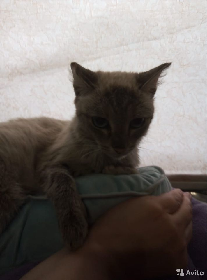 Кошка  89049940246 купить 2