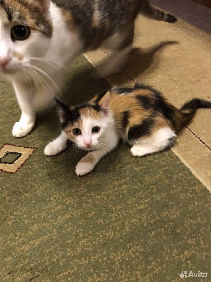 Трехцветная кошка  89600026384 купить 3